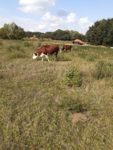 Grazende Herefords